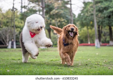 Golden Retriever and Ancient Shepherd, played on the grass