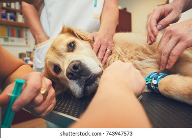 Golden retriever in the animal hospital. Veterinarians preparing the dog for surgery.