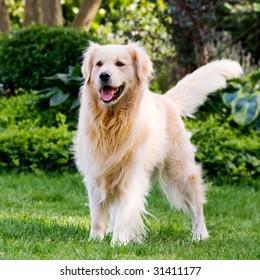 Golden retriever anxiously awaiting his ball to be thrown.