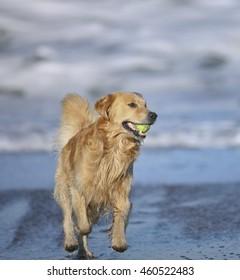 Golden Retriever at Baker Beach, San Francisco, CA.