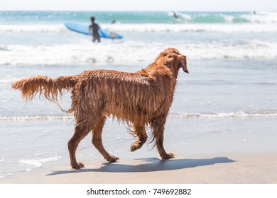 Golden retriever at the beach watching surfers on a sunny day.