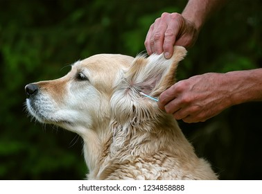 Golden Retriever bitches ear is cleaned