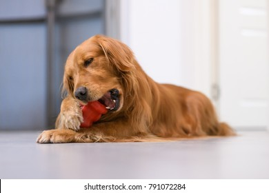 The golden Retriever is biting the toy