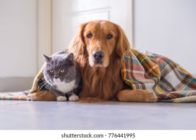 Golden retriever and British cat