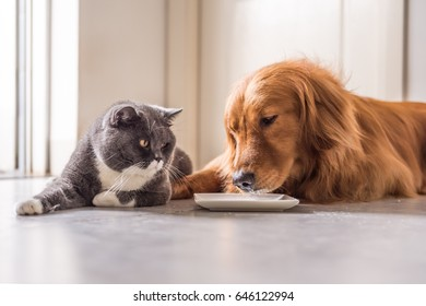 Golden Retriever and British cat lying on the floor to eat