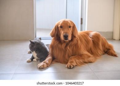 Golden retriever and British short hair cat