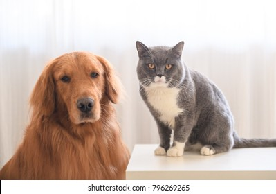 Golden retriever and British short hair cat