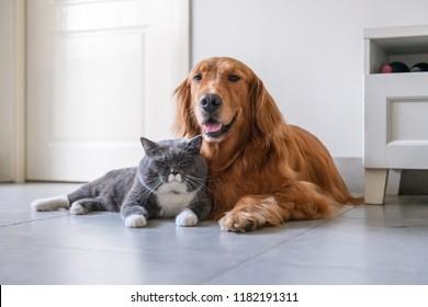 Golden retriever and British short Hairy Cat