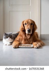 Golden retriever and british shorthair cat ready to eat food