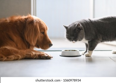 Golden Retriever and British shorthair cats are eating