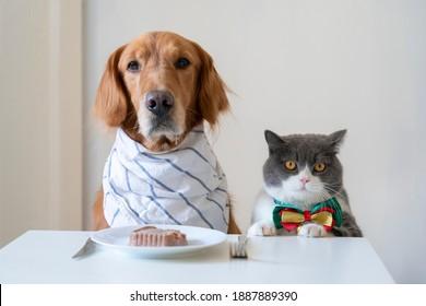 Golden Retriever and British Shorthair prepare to eat