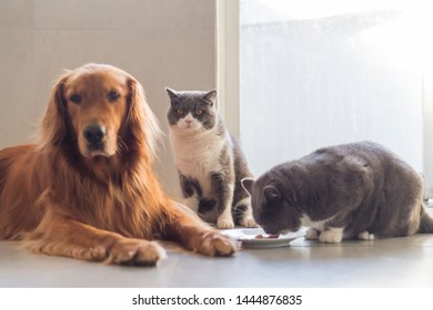 Golden Retriever and British Shorthair share food