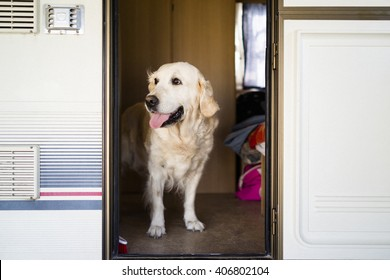 Golden retriever in caravan