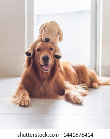 Golden Retriever carrying a plush toy puppy