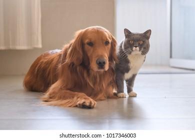 Golden Retriever and Cat