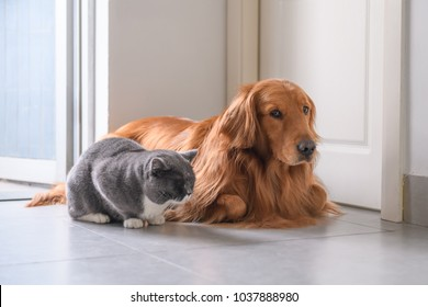 Golden Retriever and Cat