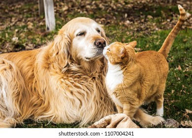 Golden Retriever and a cat giving kisses.