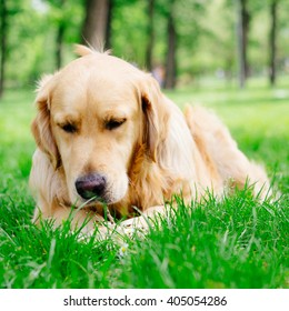 Golden Retriever chewing wooden stick