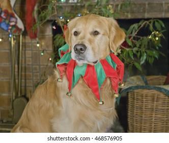 Golden Retriever in the Christmas Holiday spirit!