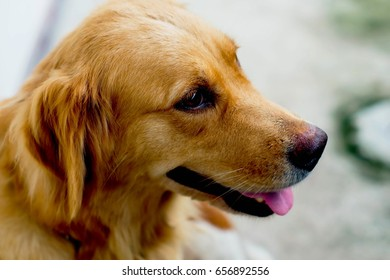 Golden Retriever, Closed up head of brown Dog