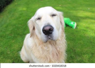 golden retriever closing his eyes