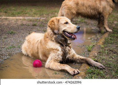 Golden Retriever cooling down in a mud puddle on a hot day.