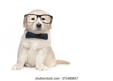 Golden Retriever Cute Puppies