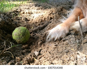 Golden retriever is digging a hole in sandy soil to hide his toy tennis ball. The dog's legs and toy.