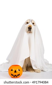 Golden Retriever disguised as a ghost with a Halloween pumpkin
