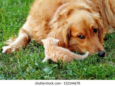 golden retriever dog and baby cat on green grass