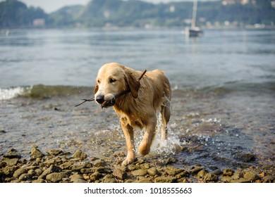 golden retriever dog bathes in Lake Maggiore, Angera, Lombardy, Italy