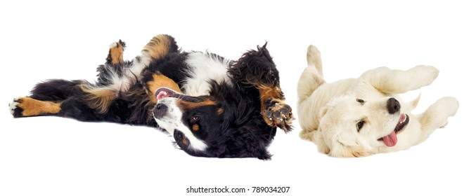 Golden retriever dog and the Bernese Mountain Dog lie on their backs