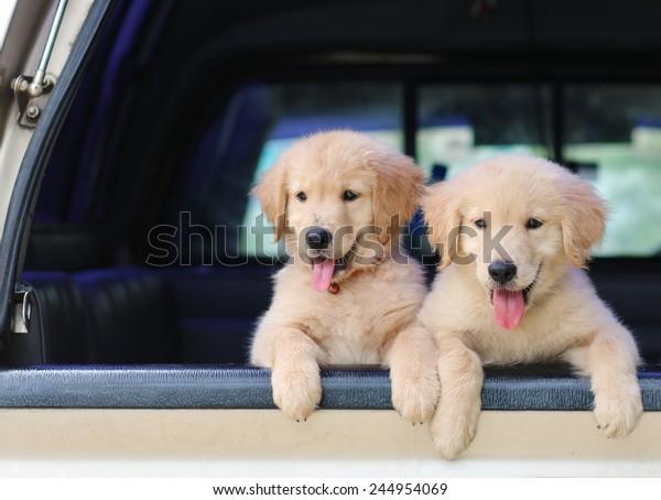 Golden Retriever Dog Car Animal Travel Stock Photo (Edit Now