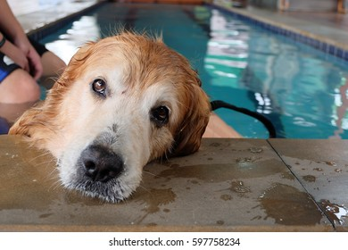 Golden retriever dog chilling at the swimming pool.