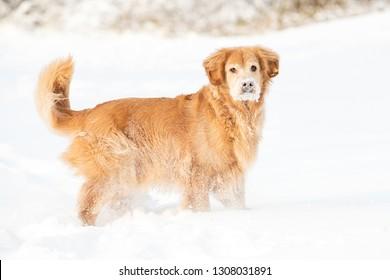 A golden retriever dog in deep winter snow having fun