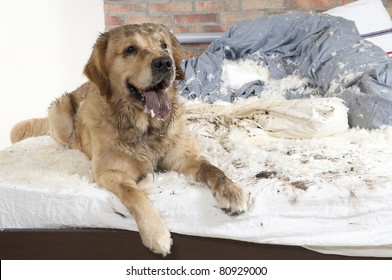 Golden retriever dog demolishes pillow on a bed in the bedroom