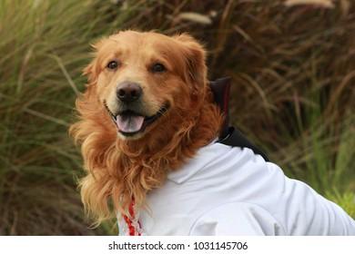 A Golden Retriever dog dressed for the ocassion. Halloween.