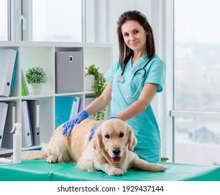 Golden Retrieve Hunde Allgemeine tierärztliche Untersuchung