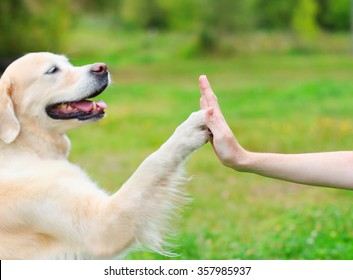 Golden Retriever dog giving paw high five owner, closeup photo