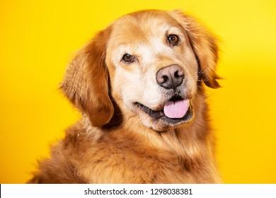 Golden retriever dog with gray face