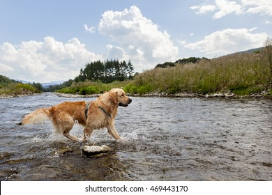 Golden retriever dog having good time in the river , summer time