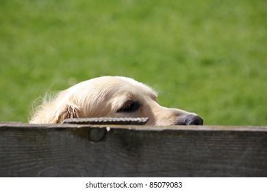 Golden retriever dog hiding behind fence