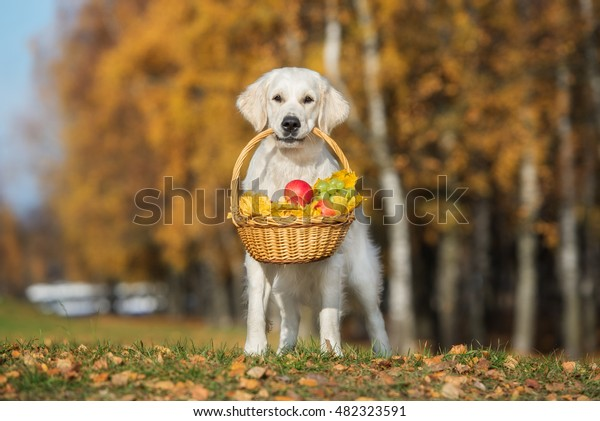 golden retriever dog holding a basket outdoors in autumn