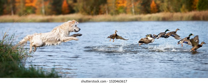 golden retriever dog jumping into water hunting ducks