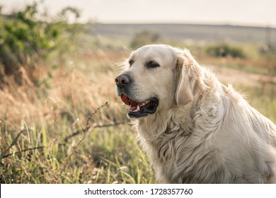 Golden retriever dog / labrador / on the grass on a background of green nature