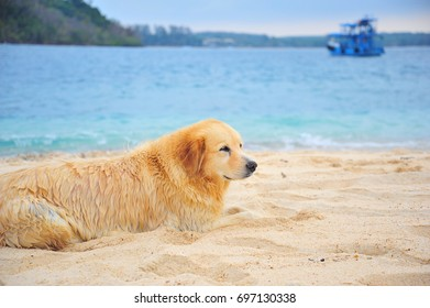 Golden Retriever Dog Laying at The Beach