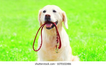 Golden Retriever dog with a leash is sitting on the grass on a summer day
