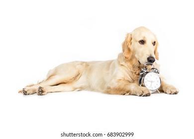 golden retriever dog lying near alarm clock, isolated on white