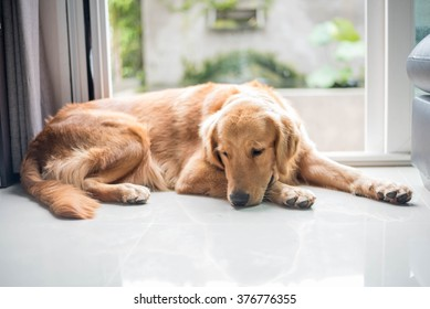Golden retriever dog lying on the floor looking sad