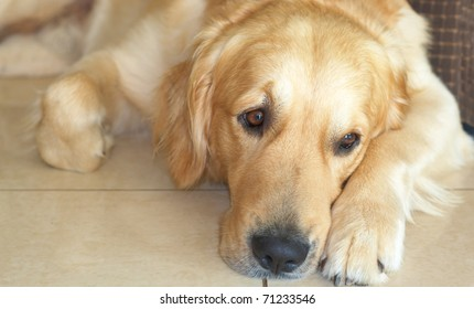 Golden retriever dog lying on the floor